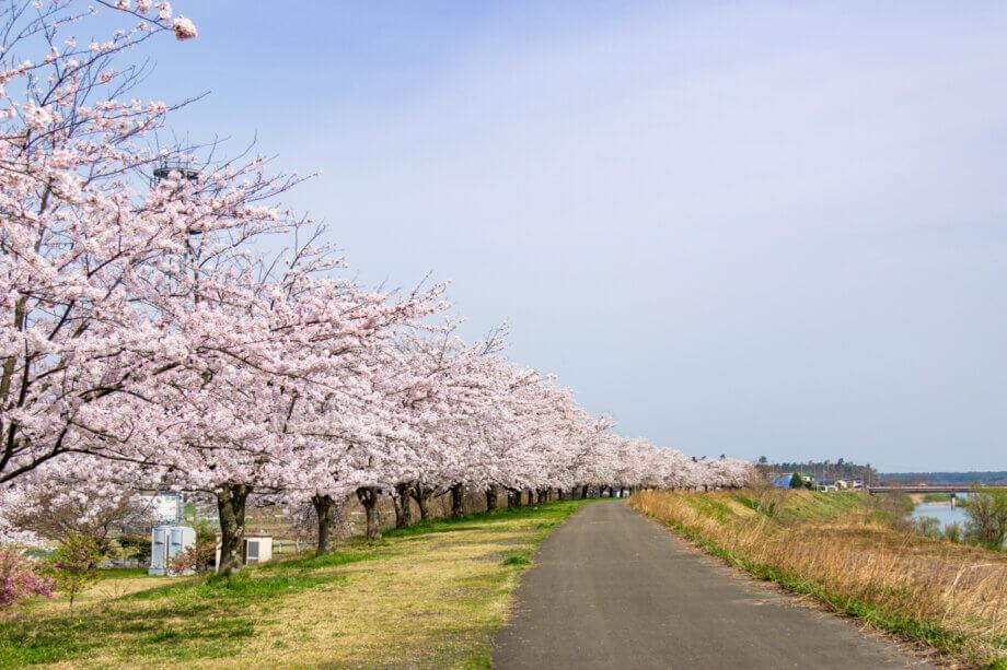 加治川堤の桜並木