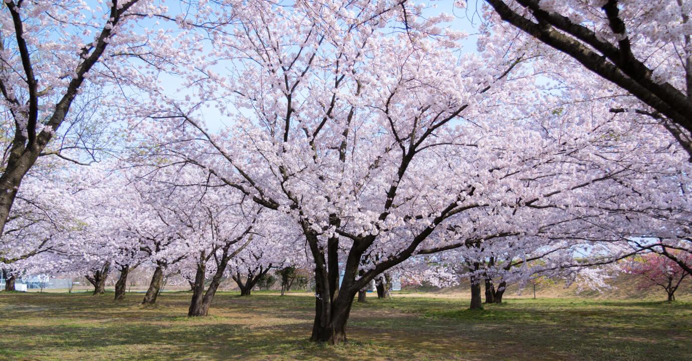 新潟県新発田市の加治川堤の桜
