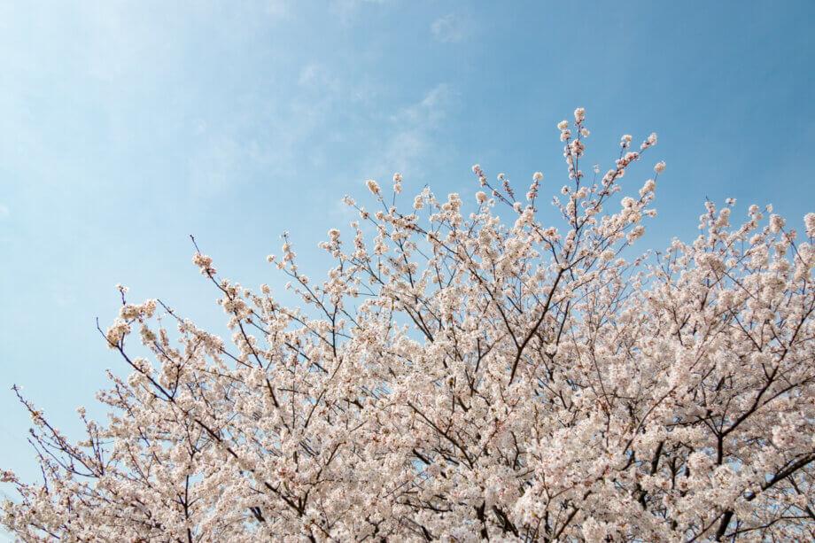 加治川堤の桜