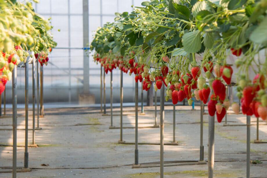 陽一郎園の立ったまま摘み取れるイチゴ